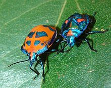 220px-Cotton_Harlequin_Bugs